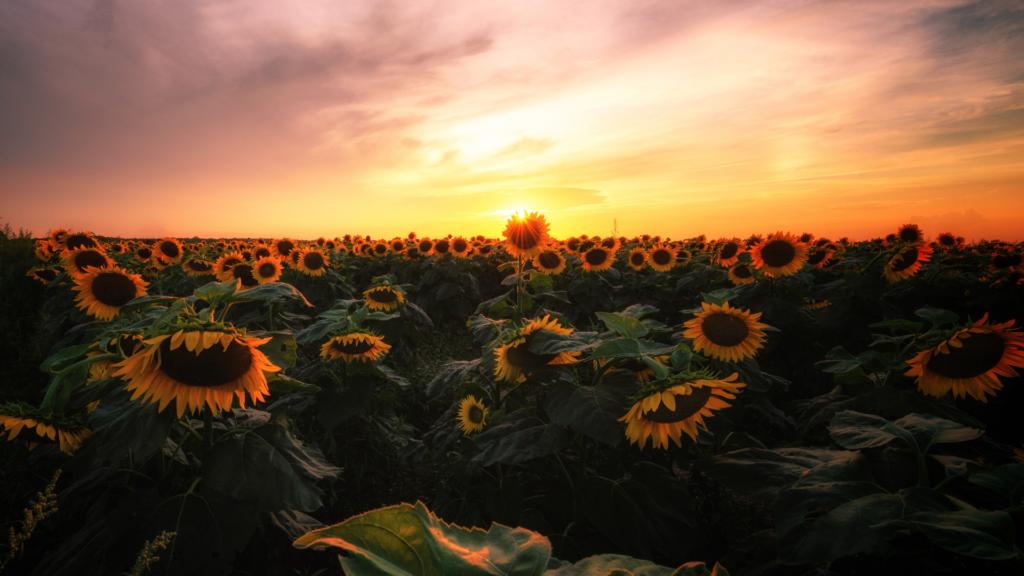 sunflower field proposal idea
